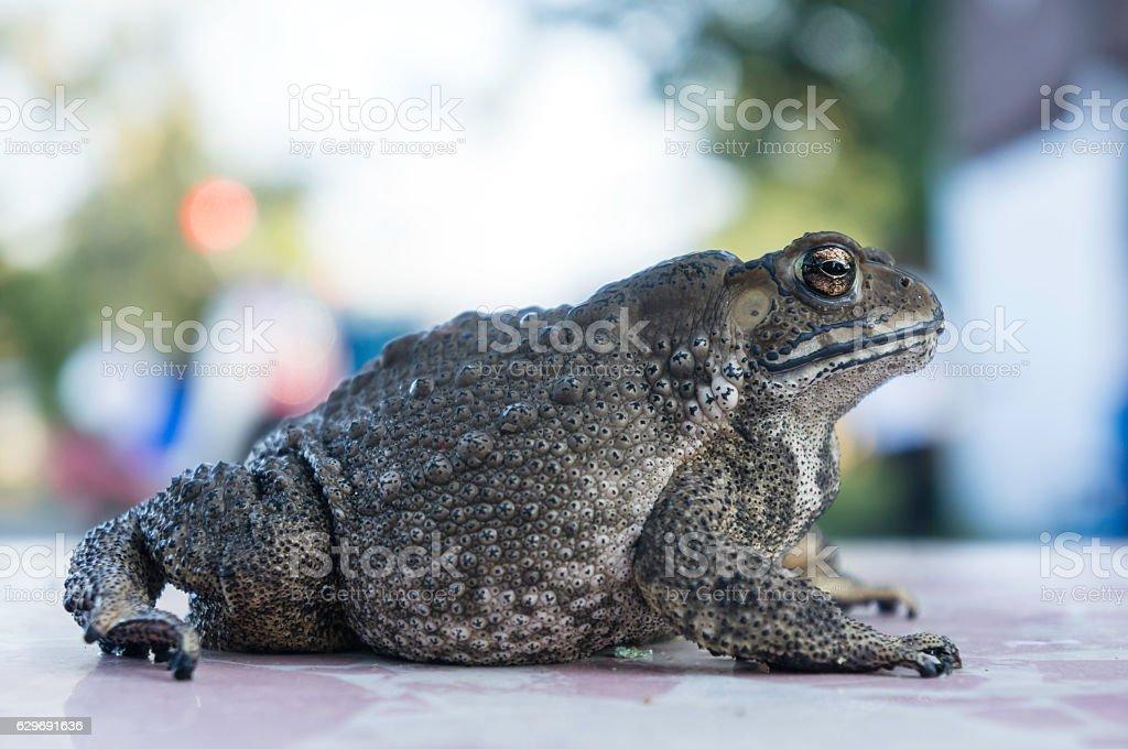 Big toad stock photo