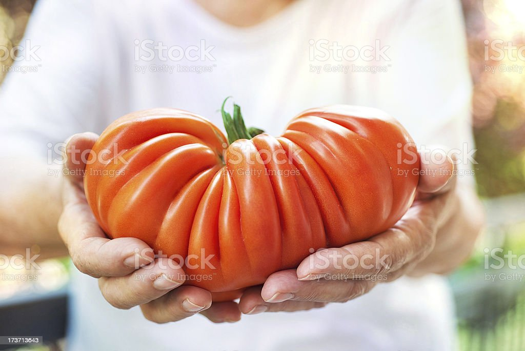 Big Tomato in Farmer's Hands royalty-free stock photo
