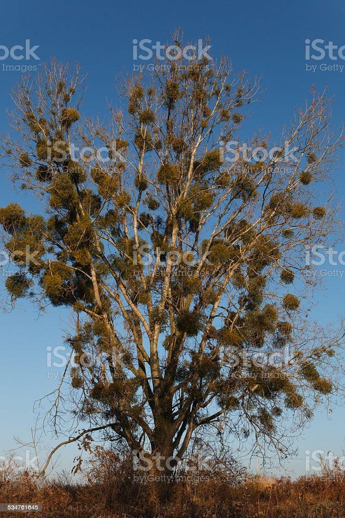 Big tree covered with mistletoe stock photo
