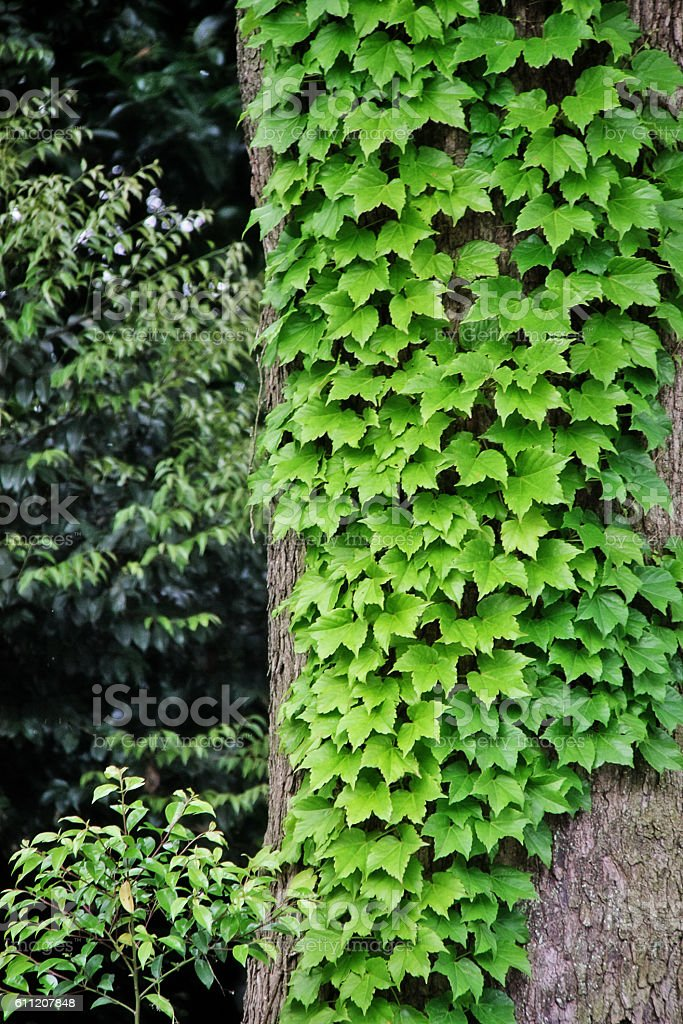 Big tree in Meiji Jingu park, Shibuya, Tokyo, Japan stock photo