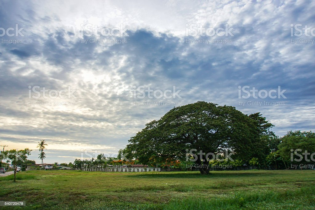 Big tree in prairie and sky in afternoon. stock photo