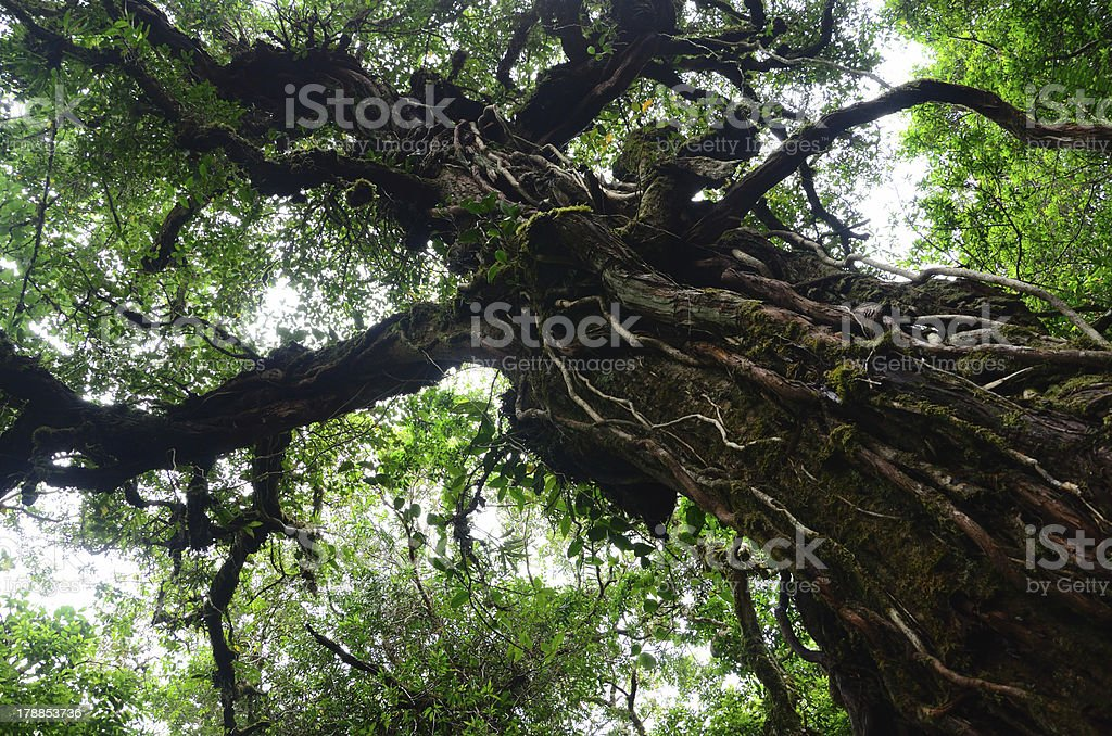 big tree in rain forest royalty-free stock photo