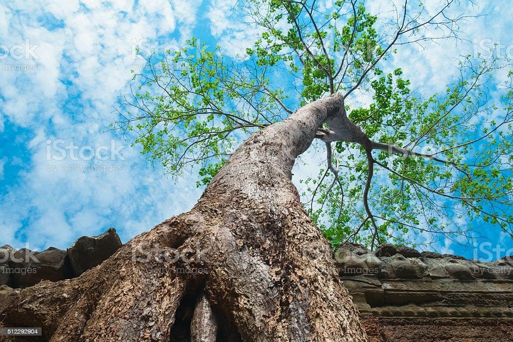 Big tree in Ta Prohm Temple, Angkor Wat stock photo
