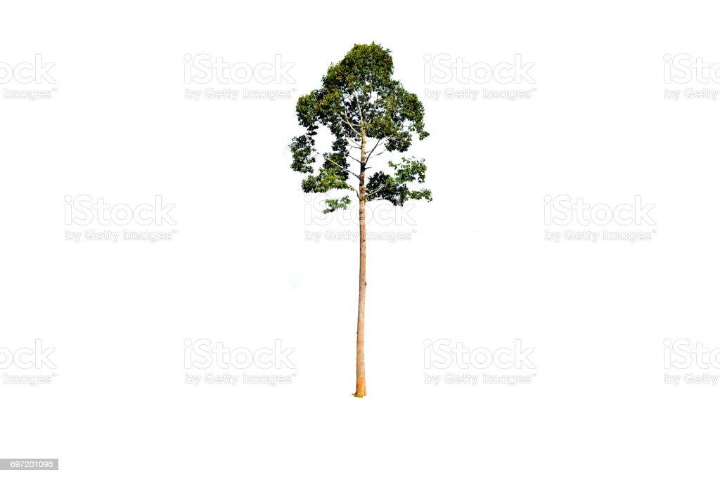Big tree isolate on white background stock photo