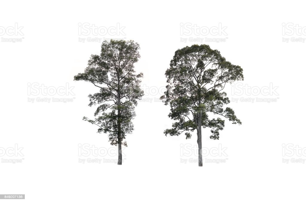 Big tree isolate on white stock photo