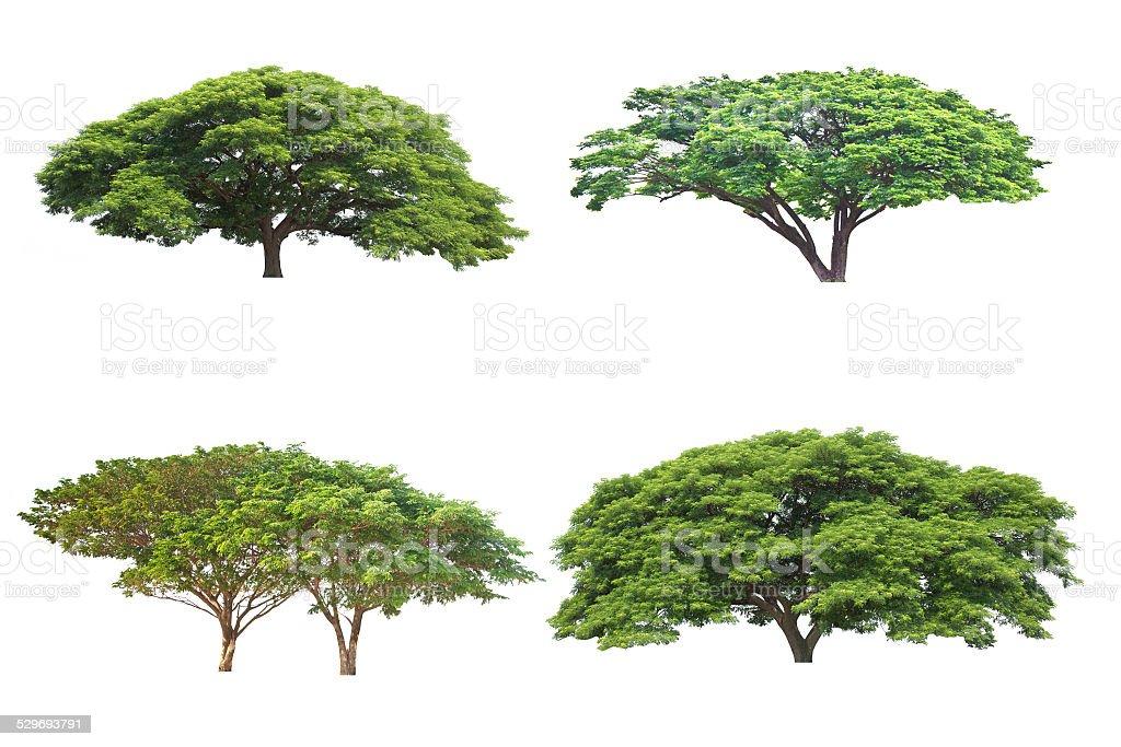 Big tree isolated, Common name : saman, rain tree stock photo