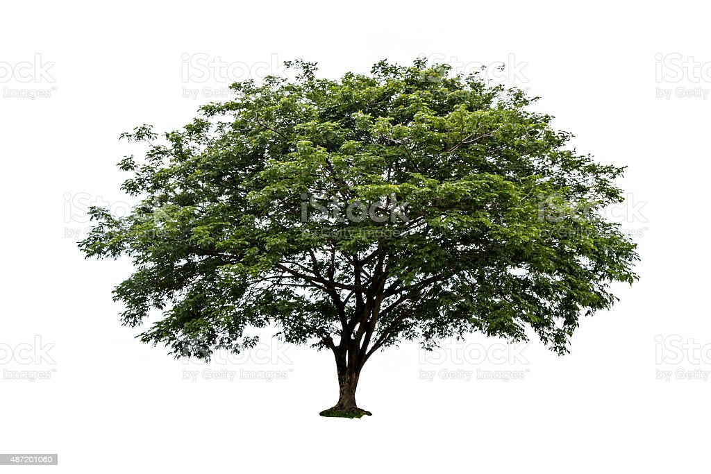 Big tree isolated on white background stock photo