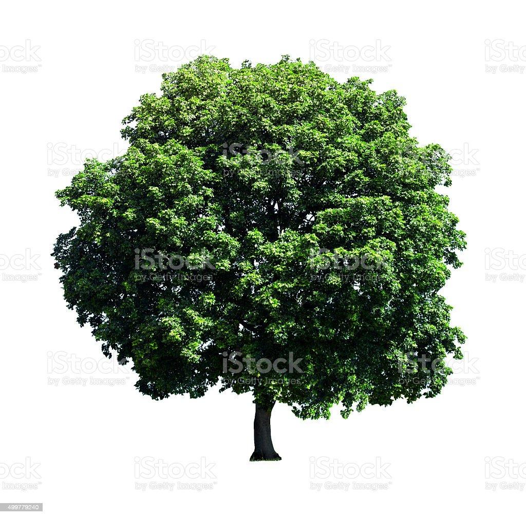 Big tree isolated on white background. stock photo