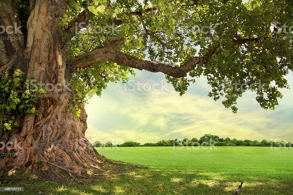 big tree stock photo