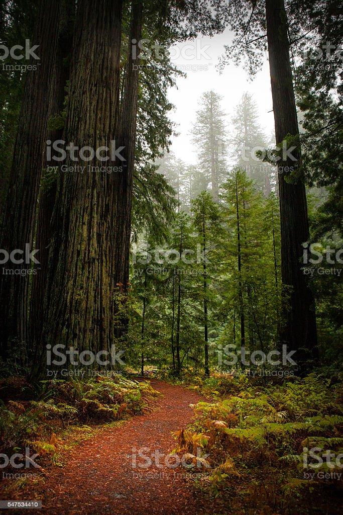 Big Tree Trail, Humboldt Redwoods State Park stock photo