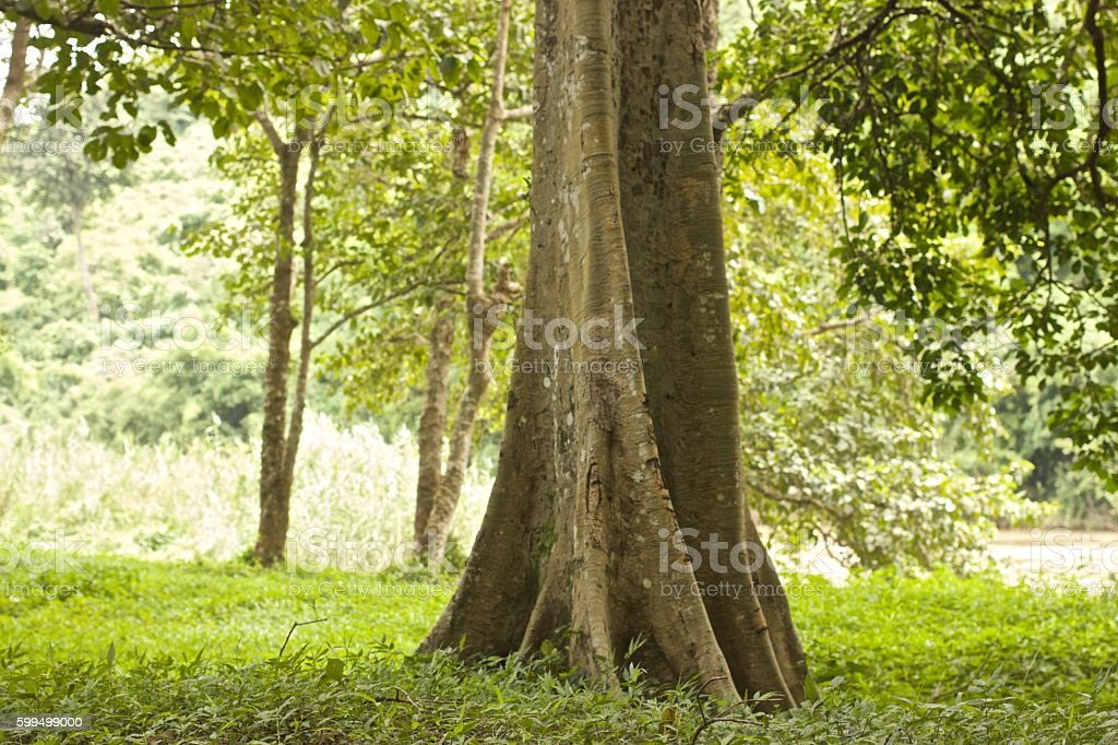 Big tree trunk in Rain forest stock photo