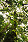 Big tree up-risen angle  in rain-forest.