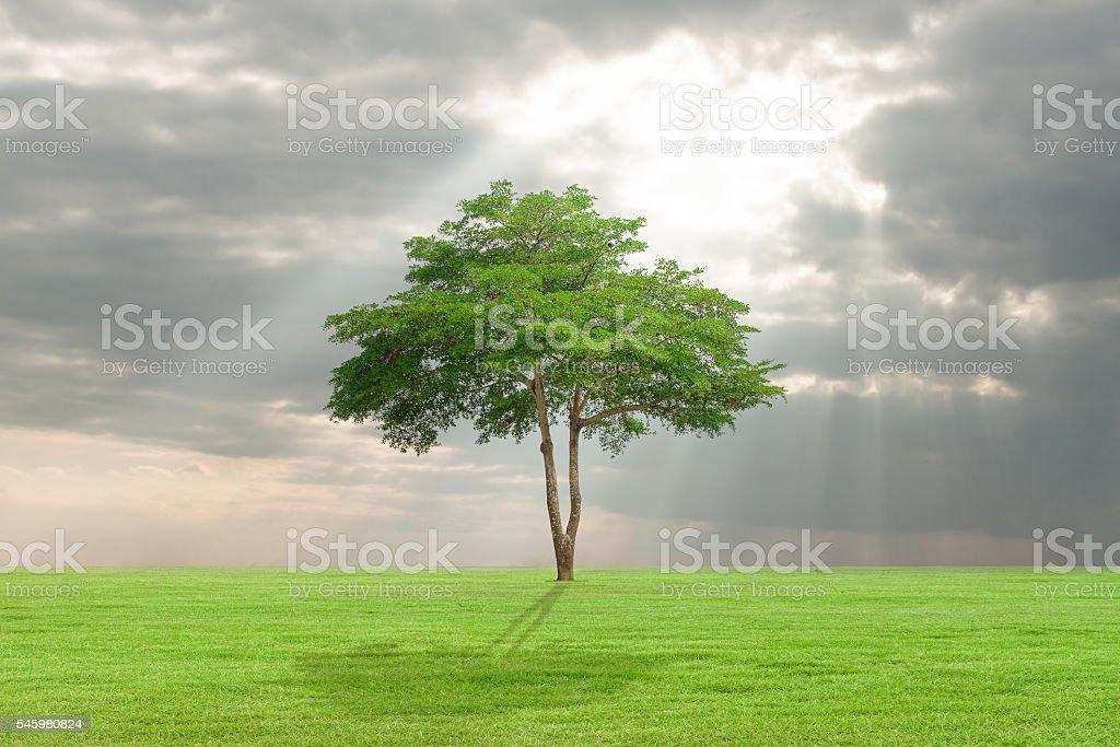 big tree with green field stock photo