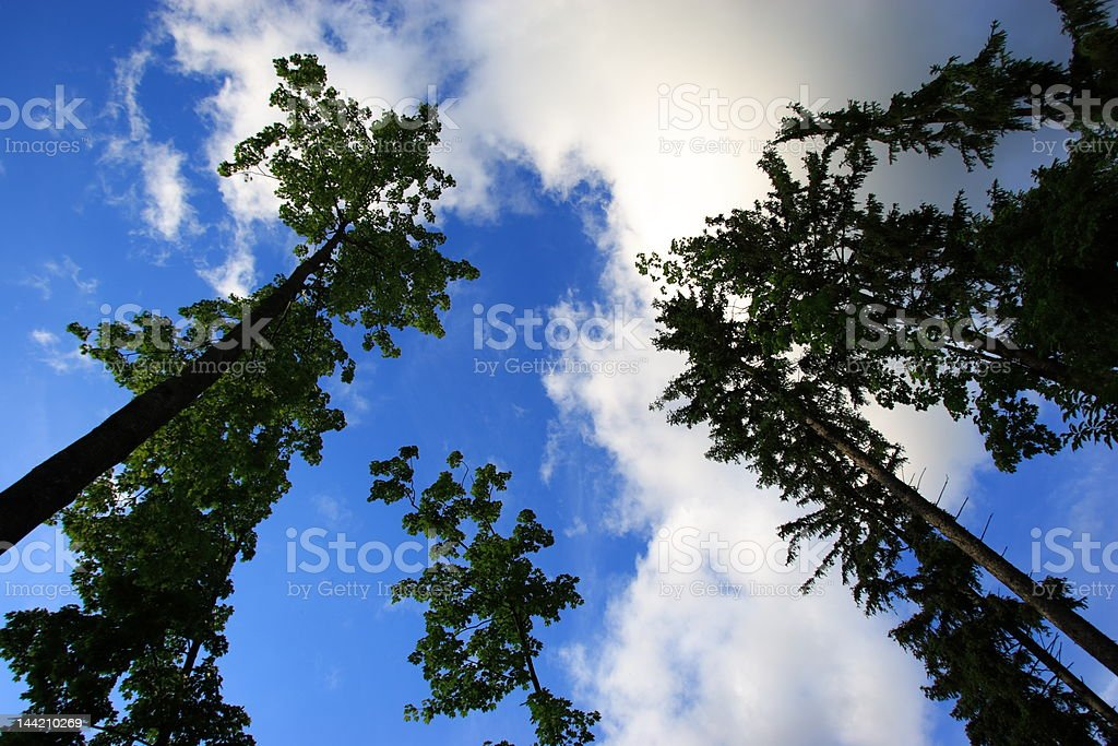 Big Trees and Blue Sky royalty-free stock photo