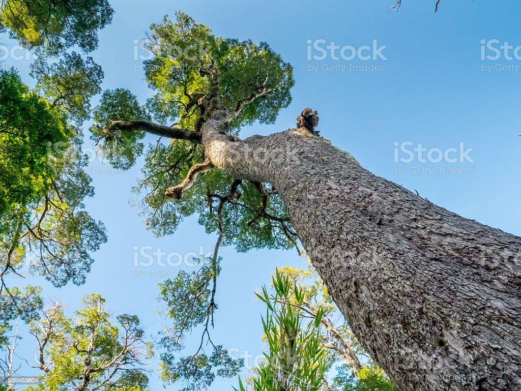 Big trees near Pucon royalty-free stock photo