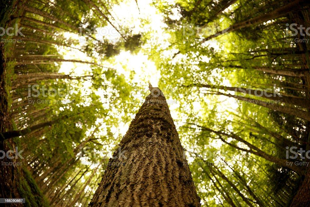 Big Trees royalty-free stock photo