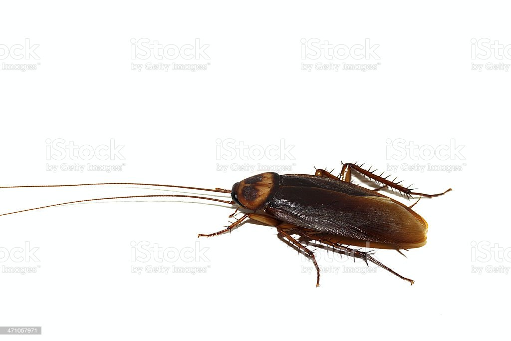 big tropical cockroach royalty-free stock photo