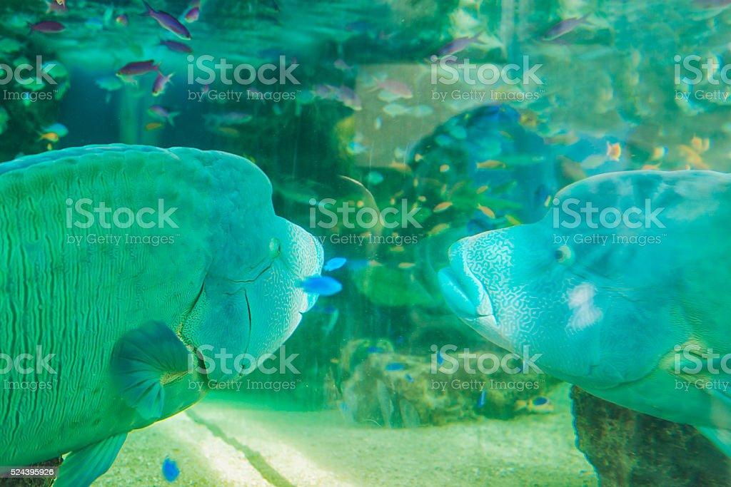 Big tropical fish in Aquarium stock photo