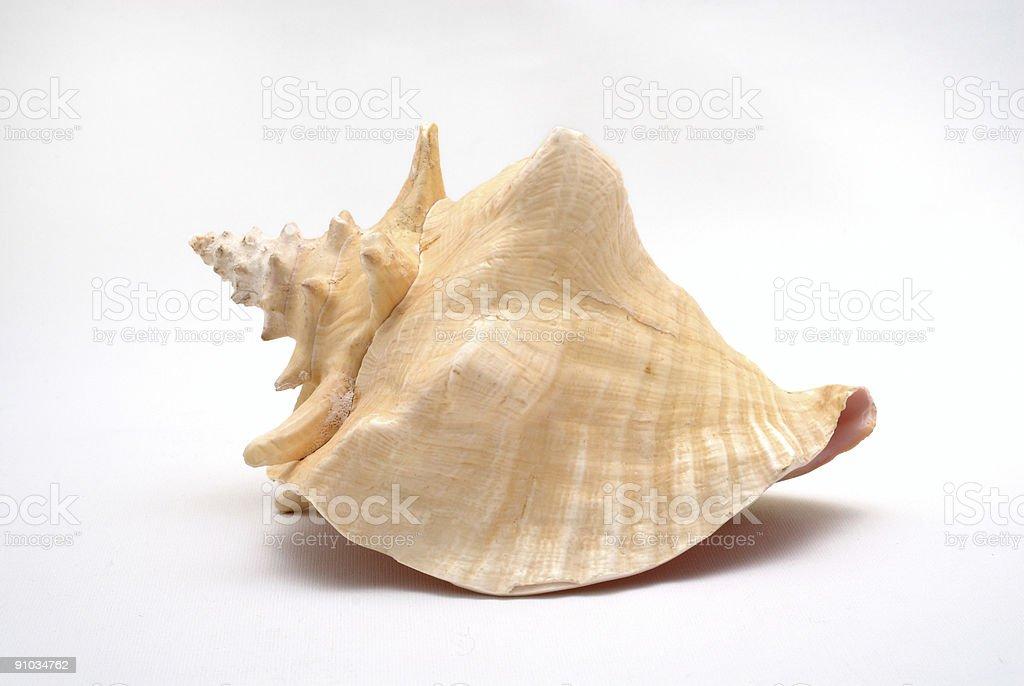 Big tropical seashell stock photo