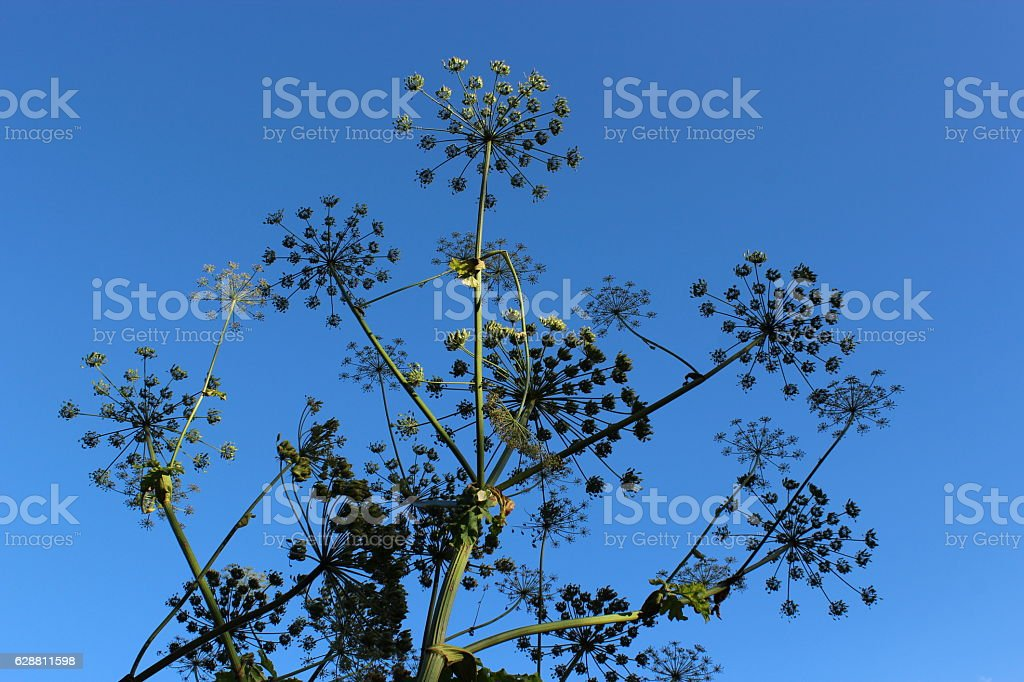big umbels of Heracleum stock photo