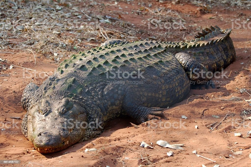 Big und relaxing Crocodile in the Chobe National Park in Botswana stock photo