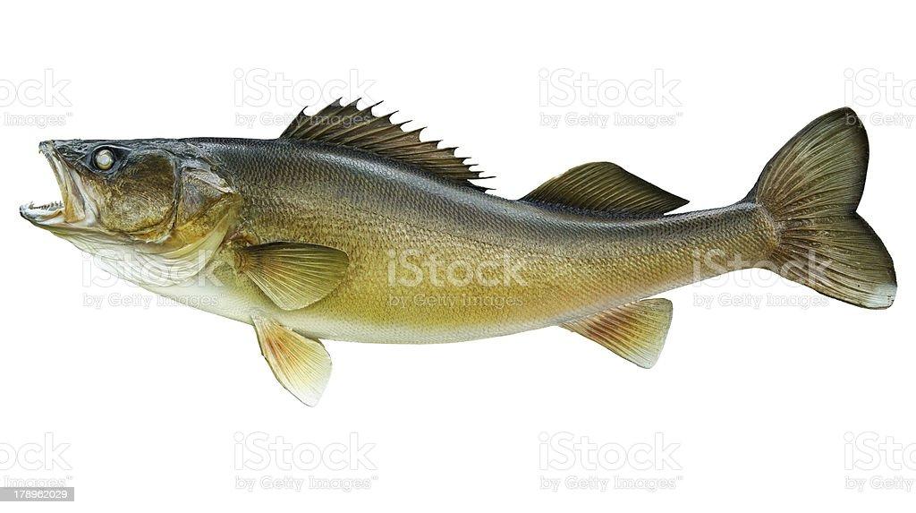 Big walleye isolated on white stock photo