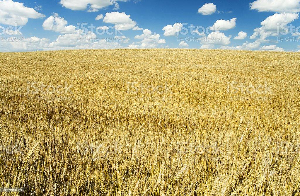 Big Wheat Field royalty-free stock photo