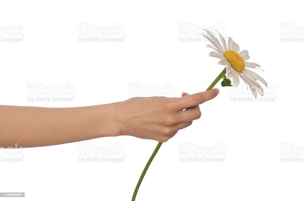 Big white daisy royalty-free stock photo