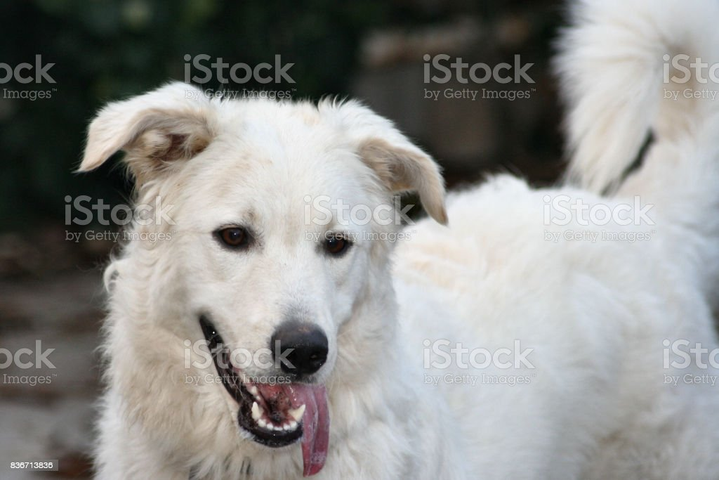 Big white dog stock photo
