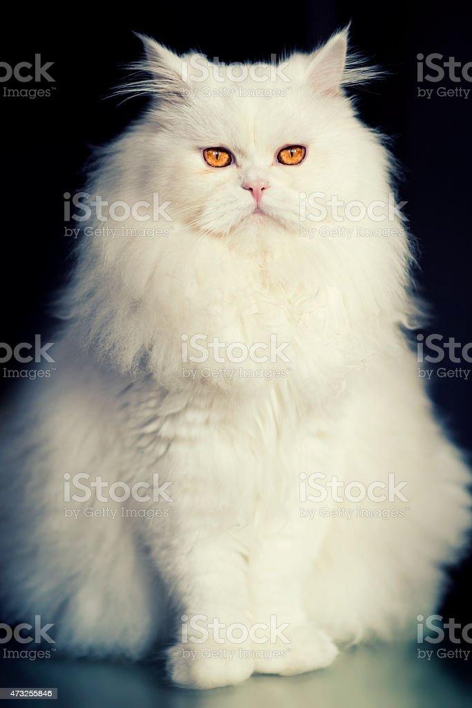 Big White Fat Persian Cat how Looking at Camera stock photo
