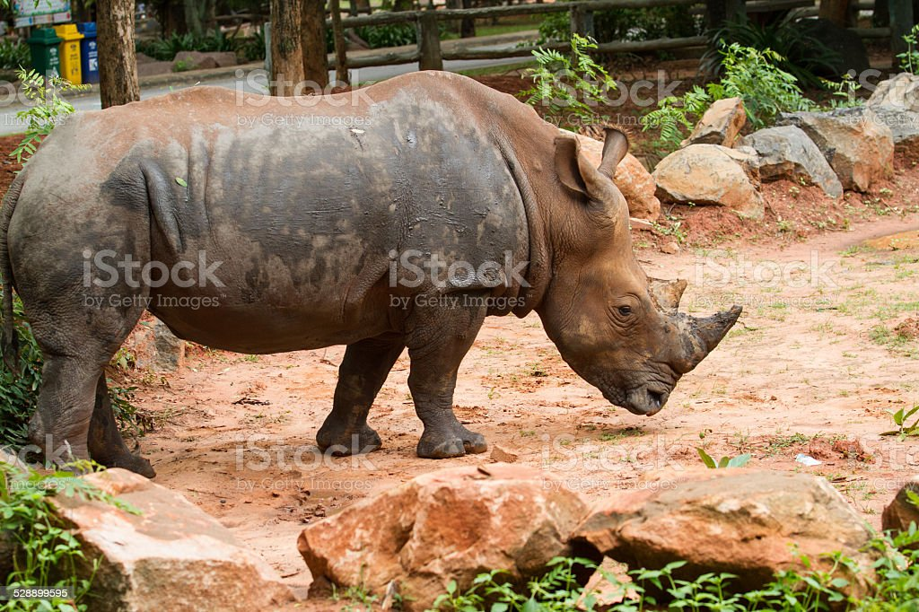 big white rhino with two other rhino in the zoo stock photo