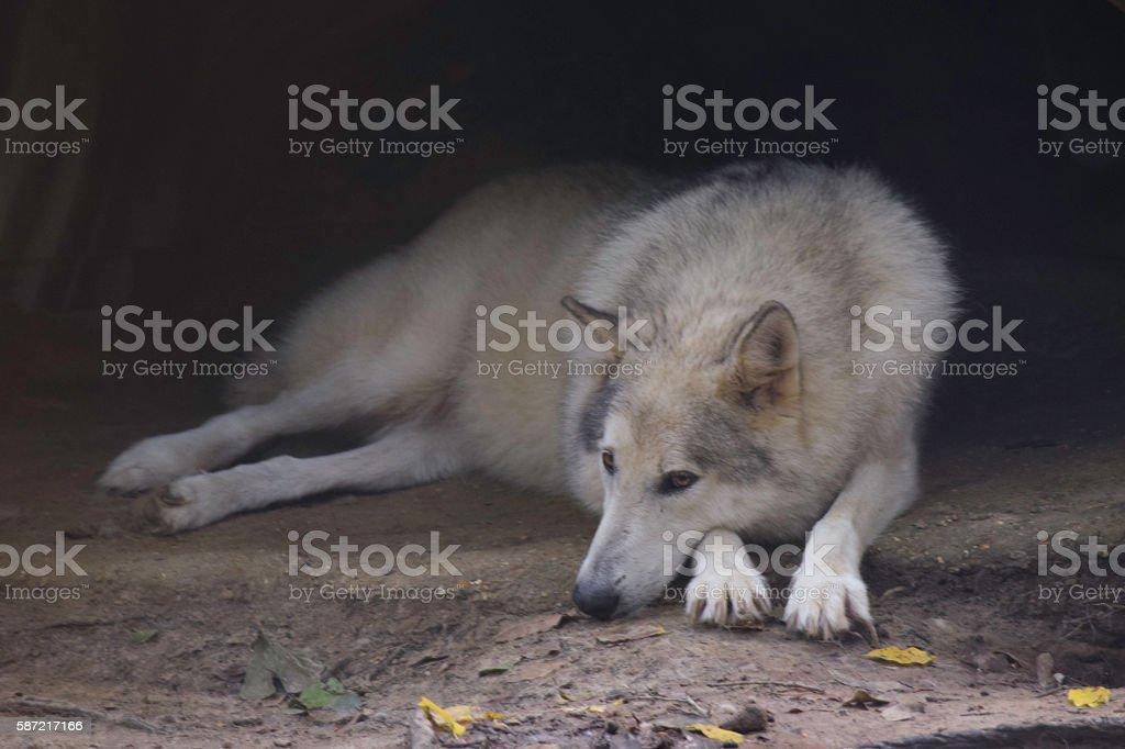 Big White Wolf Waiting on His Mate. stock photo