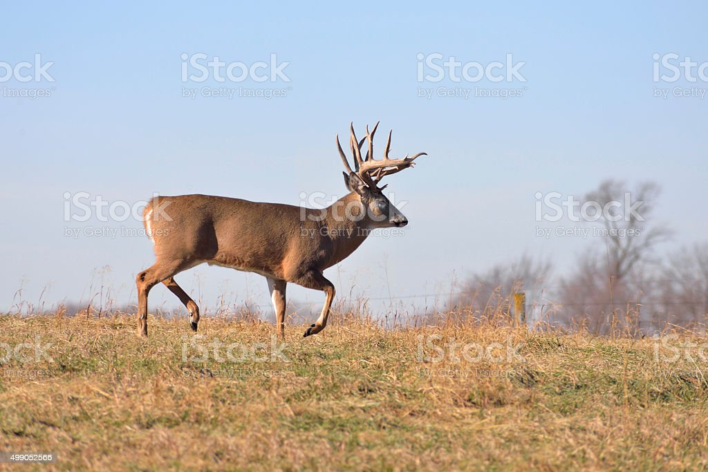 Big Whitetail Buck Moving stock photo