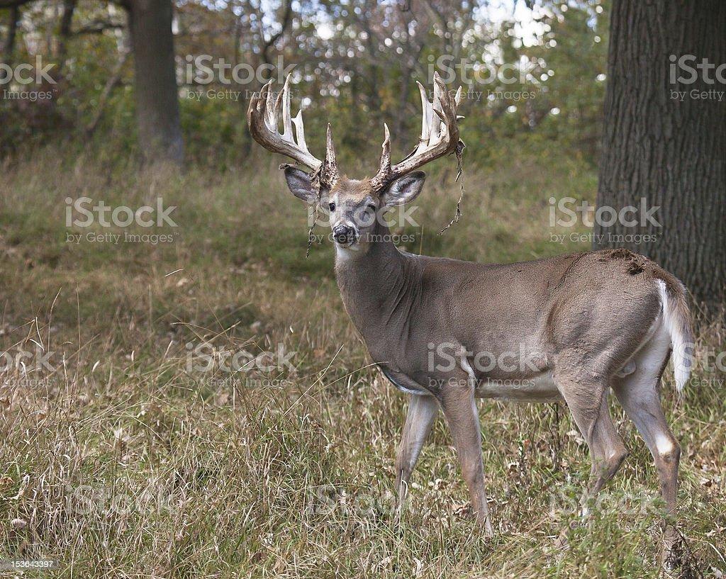 Big White-tailed deer profile royalty-free stock photo
