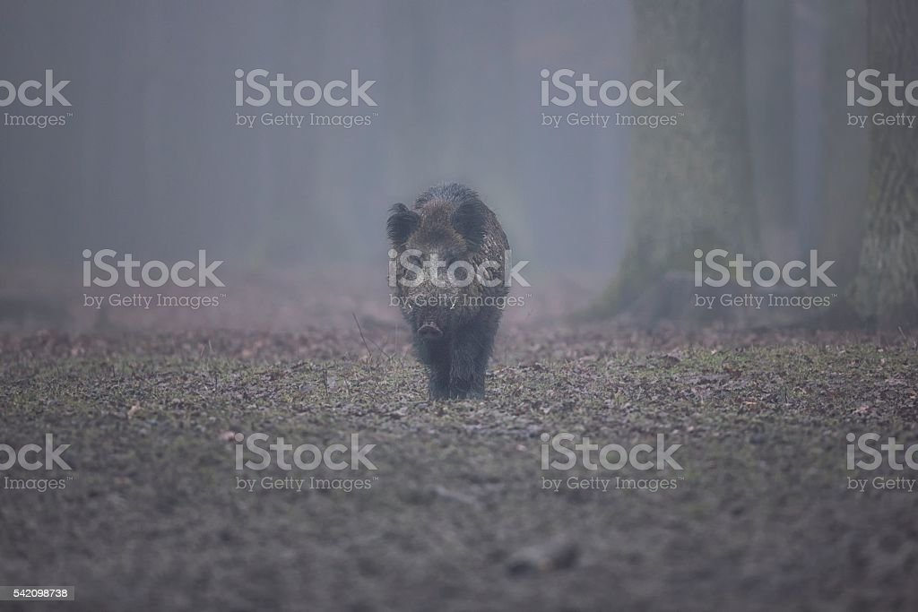 Big wild boar face to face in Czech Republic stock photo