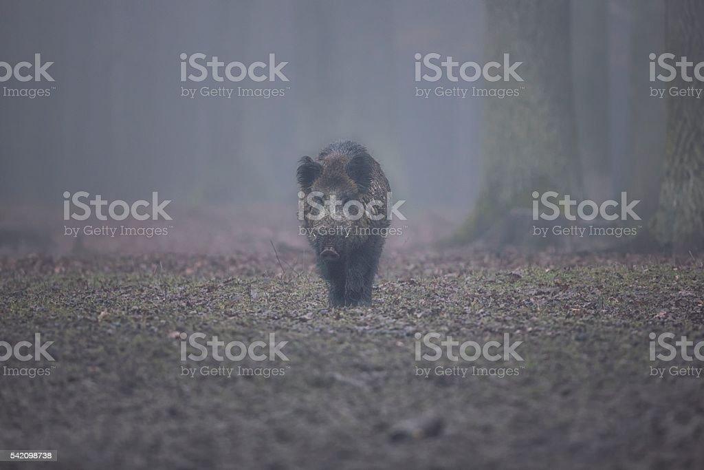 Big wild boar face to face in Czech Republic stock photo