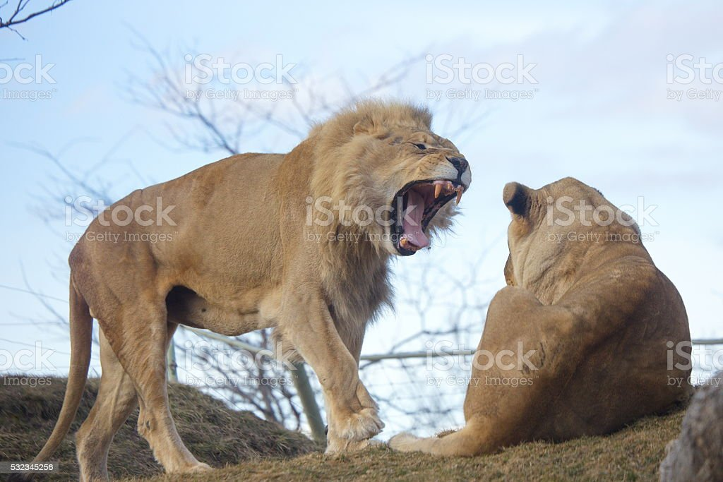 Big Wild Cats stock photo