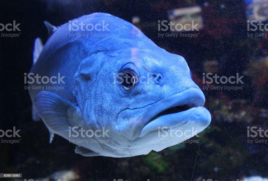 Big wild fish in aquarium. stock photo