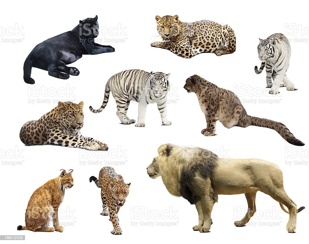 big wildcats  over white background royalty-free stock photo