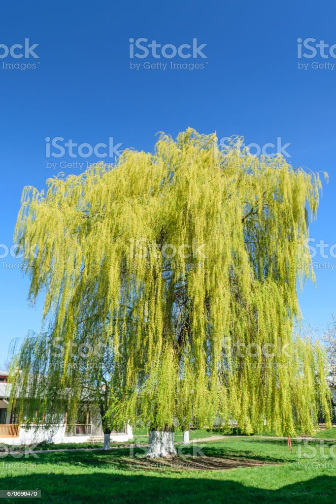 big willow tree against blue clear sky stock photo