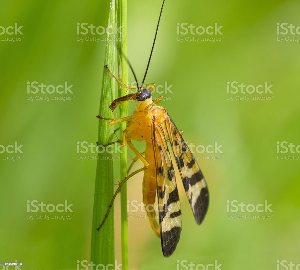 Big yellow fly with a long nose royalty-free stock photo