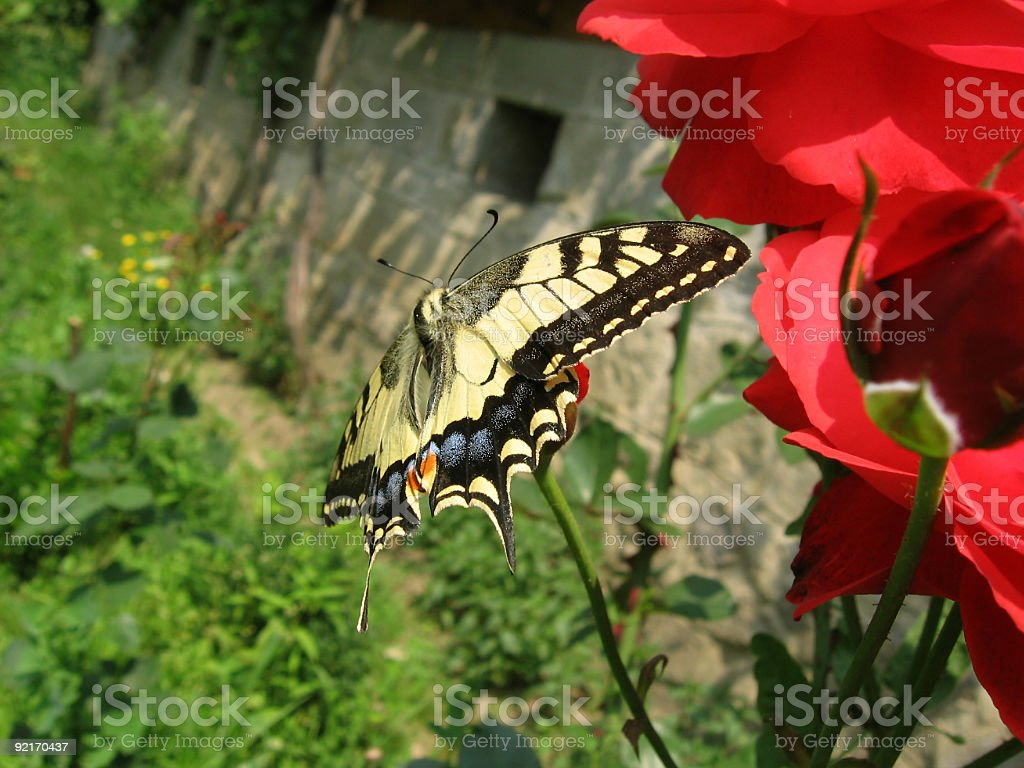 Big yellow oregon swallowtail butterfly royalty-free stock photo