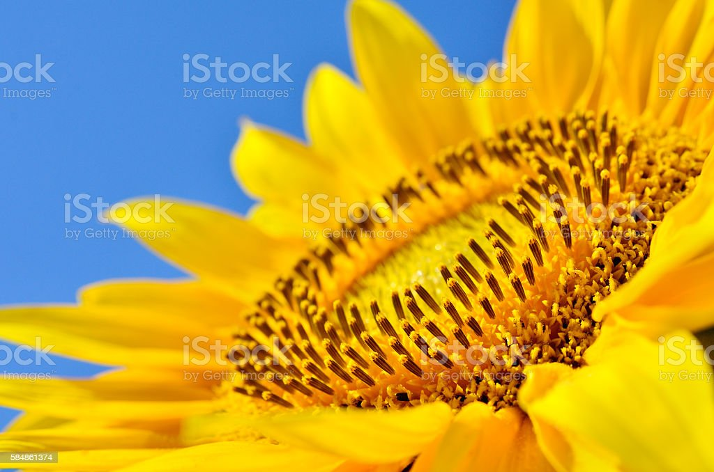 Big yellow sunflowers in the field against the blue sky. stock photo
