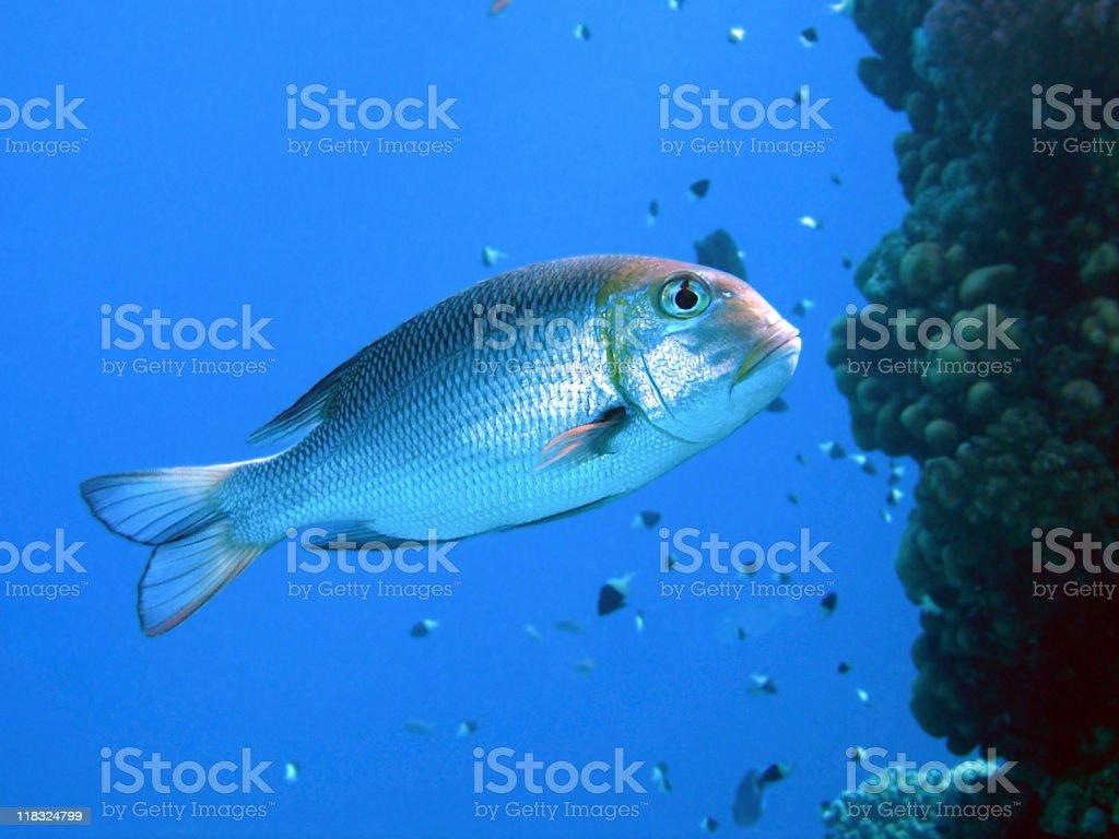 Bigeye Emperor floating against reef wall, Egypt. stock photo