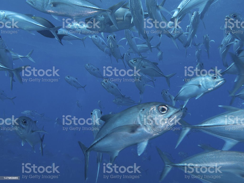 bigeye trevally school stock photo