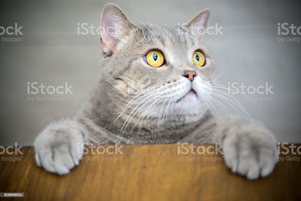 Big-eyed naughty obese cat showing paws on wooden table stock photo