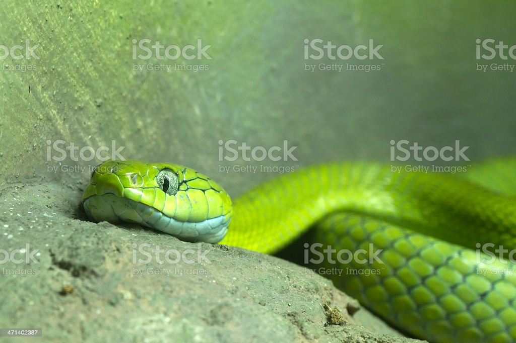 Big-eyed Pit viper royalty-free stock photo