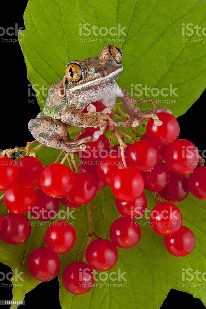 Big-eyed tree frog on berries stock photo
