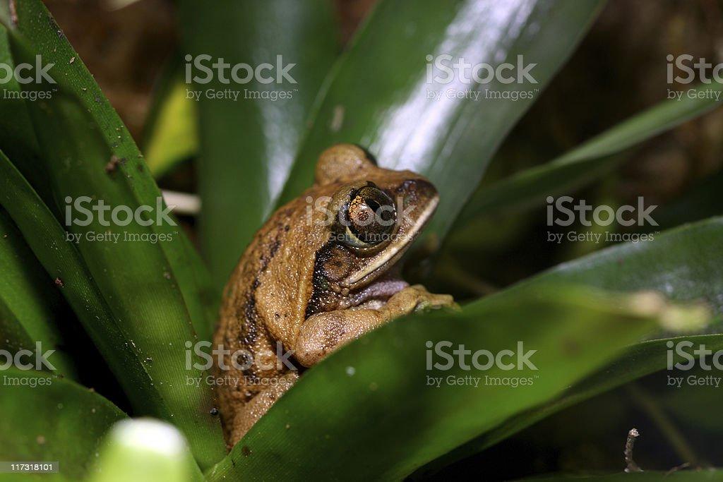 Big-eyed tree frog stock photo