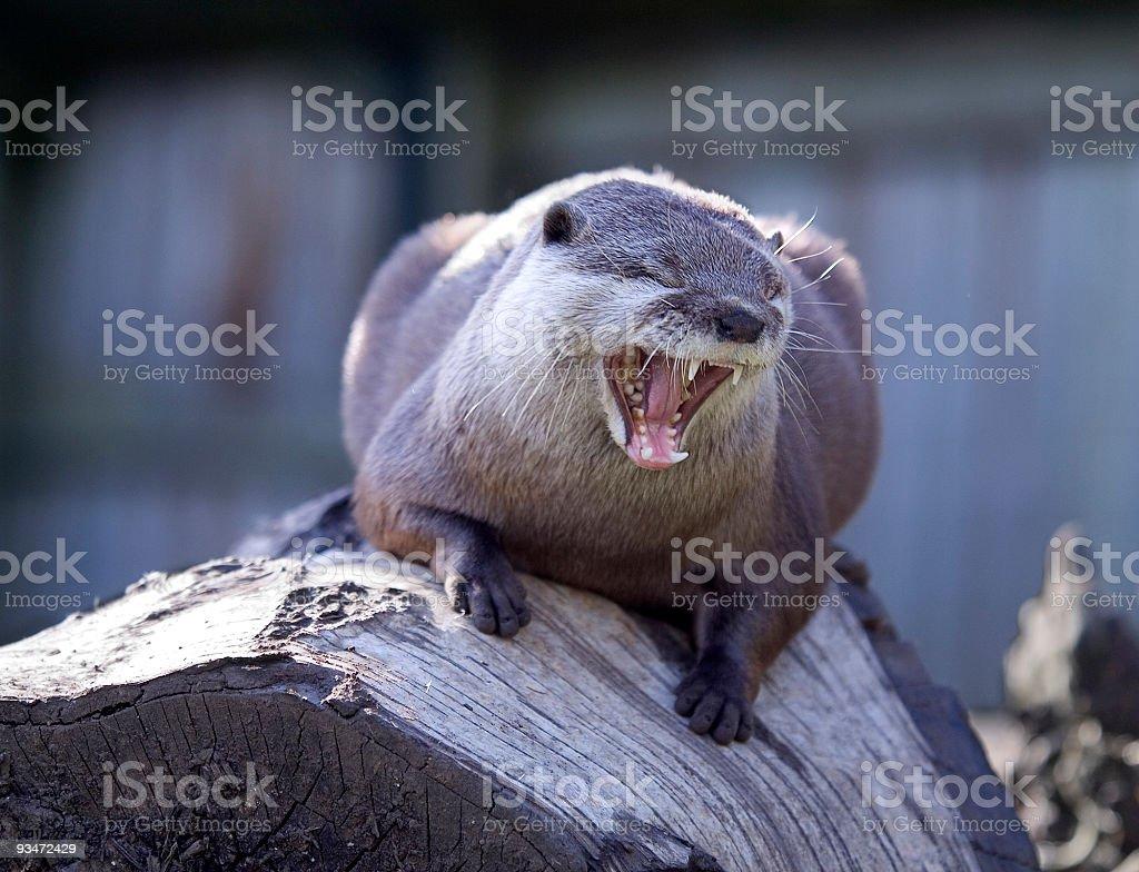 Bigger Yawn stock photo